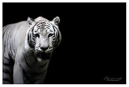 The Siberian Tiger out of the ... from Mayanoff Photography, Prodi Art, Art photography, Giclée Art print, Prodi Art