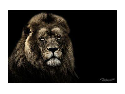 The King of the Savannah from Mayanoff Photography, Prodi Art, Art photography, Giclée Art print, Standard frame sizes, Prodi Art
