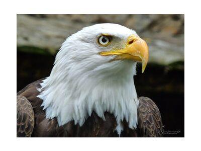 Eye of the Eagle from Mayanoff Photography, Prodi Art, Art photography, Giclée Art print, Standard frame sizes, Prodi Art