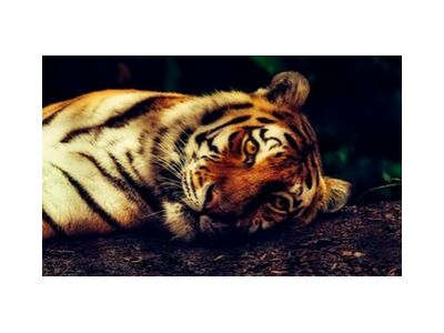 Lying Tiger from Pierre Gaultier, Prodi Art, Art photography, Giclée Art print, Standard frame sizes, Prodi Art