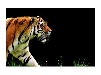 Tiger walking from Pierre Gaultier, Prodi Art, Art photography, Giclée Art print, Standard frame sizes, Prodi Art