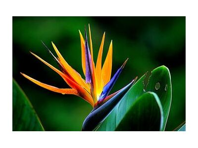 Zoom on strelitzia from Pierre Gaultier, Prodi Art, Art photography, Giclée Art print, Standard frame sizes, Prodi Art