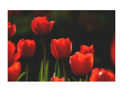 Our red tulips from Pierre Gaultier, Prodi Art, Art photography, Art print, Standard frame sizes, Prodi Art