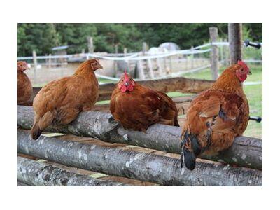 Les poulettes de jenny buniet, Prodi Art, Photographie d'art, Impression d'art, Tailles de cadre standard, Prodi Art