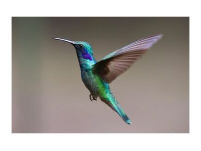 The Hummingbird from Pierre Gaultier, Prodi Art, Art photography, Giclée Art print, Standard frame sizes, Prodi Art
