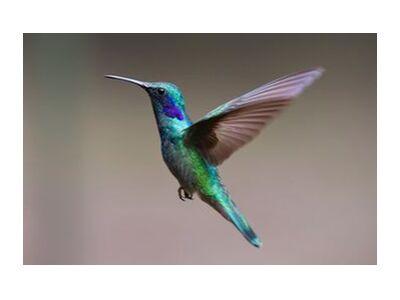 The Hummingbird from Pierre Gaultier, Prodi Art, Art photography, Art print, Standard frame sizes, Prodi Art