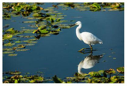 Aigrette en chasse sur le Lac de Grandlieu from NATUREL PHOTOS OUEST, Prodi Art, Art photography, Art print, Prodi Art