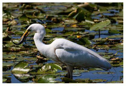L'Aigrette a capturé un joli poisson from NATUREL PHOTOS OUEST, Prodi Art, Art photography, Art print, Prodi Art
