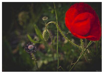 Tulipe from Caro Li, Prodi Art, Art photography, Giclée Art print, Prodi Art