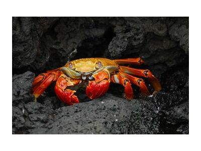 Crab from Aliss ART, Prodi Art, Art photography, Giclée Art print, Standard frame sizes, Prodi Art