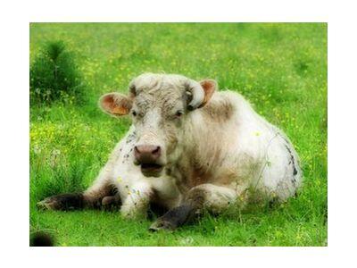 vache de JuJuPhotographies, VisionArt, Photographie d'art, Impression d'art, Tailles de cadre standard, Prodi Art